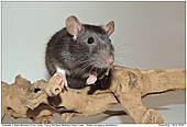 Fancy Rat Black Berkshire Down Under - Fancy Rat Black Berkshire Down Under