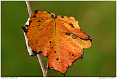 Autumn Leaf - Autumn Leaf