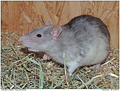 Fancy Rat Marble - Fancy Rat Marble