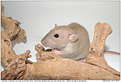 Fancy Rat Wheaten Burmese with Dumbo Ears - Fancy Rat Wheaten Burmese with Dumbo Ears