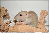 Fancy Rat Wheaten Burmese with Dumbo Ears - Fancy Rat Wheaten Burmese with Dumbo Ears