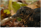 Blackbird - Portrait of a blackbird