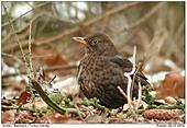 Blackbird - Female Blackbird in winter