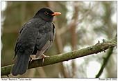 Blackbird - Blackbird (Male)