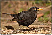 Blackbird - Male Blackbird