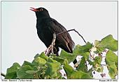 Blackbird - Singing Blackbird