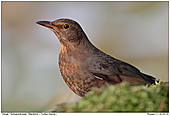 Blackbird - Female Blackbird