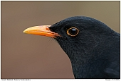 Male Blackbird - Portrait of a Blackbird