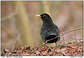 Blackbird - Blackbird in the Winter