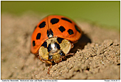 Multicolored Asian Lady Beetle - Multicolored Asian Lady Beetle