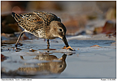 Dunlin - Dunlin searching for food