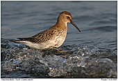 Dunlin - Dunlin with wave