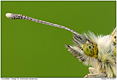 Orange Tip - Butterfly Close Up