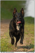 Dog - Balu - Running Dog