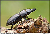 Lesser Stag Beetle - Lesser Stag Beetle - Male