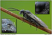 Sawfly Dolerus spec  - Sawfly (Doloerus spec )