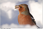 Chaffinch - Chaffinch In Snow