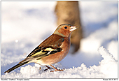 Cahffinch - Chaffinch In The Snow