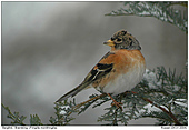 Brambling - In the Winter