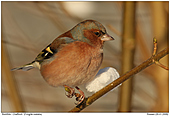 Chaffinch - Chaffinch In The Winter