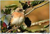 Brambling - Brambling in an apple tree