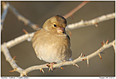 Chaffinch - Female Chaffinch