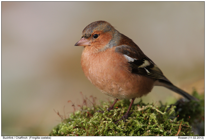 chaffinch photos digital nature photography photo. Black Bedroom Furniture Sets. Home Design Ideas
