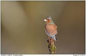 Chaffinch - Male Chaffinch