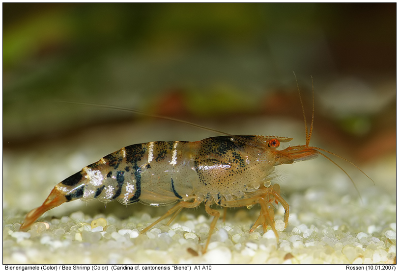 bee shrimp pictures bee shrimp bee shrimps are little freshwater ...