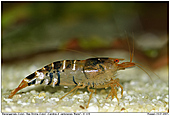 Bee Shrimp - Bee Shrimp