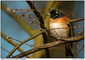 Brambling - Male Brambling