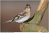 Brambling - Female Brambling