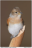 Brambling - Brambling - Female