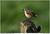 Whinchat - Whinchat