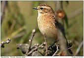 Whinchat - In a heap of branches