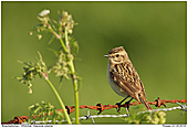 Whinchat - Female Whinchat