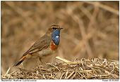 Bluethroat - Bluethroat