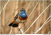 Bluethroat - Spreaded Tail
