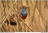 Bluethroat - In the Reeds