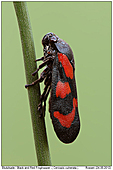 Black and Red Froghopper - Black and Red Froghopper