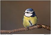 Blue Tit - Blue Tit