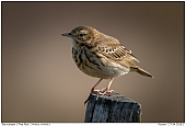 Tree Pipit - Tree Pipit