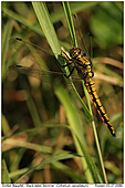 Black-tailed Skimmer - Black-tailed Skimmer