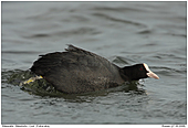 Coot - Coot