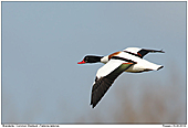 Shelduck - Common Shelduck
