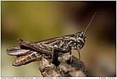 Field Grashopper - Field Grashopper