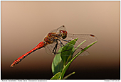 Ruddy Darter - Ruddy Darter