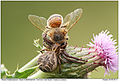 Common Crab Spider - Common Crab Spider