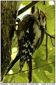 Great Spotted Woodpecker - A bad moment