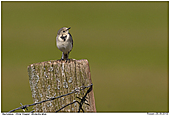 White Wagtail - Whiite Wagtail